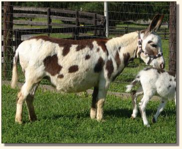 Click photo to miniature donkey to enlarge image