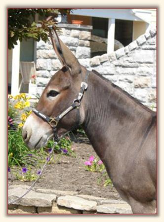 Wits End Farm Miniature Donkeys We Have Sold in Franklin