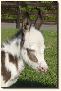 Click photo of miniature donkey to enlarge image