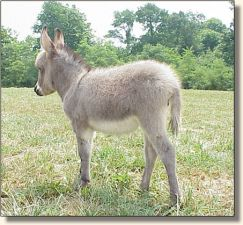 Parkside Cricket, miniature donkey jennet for sale