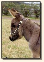 Wit's End Farm Felina, miniature donkey for sale (7637 bytes)