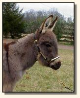 Wit's End Farm Felina, miniature donkey for sale (7833 bytes)