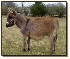 Miniature Donkey for sale, Wit's End Farm Felina (11,879 bytes)