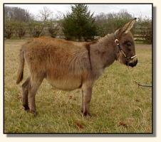 Miniature Donkey for sale, Wit's End Farm Felina (10,667 bytes)